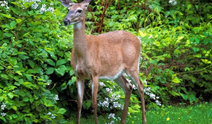 What to Feed Deer in your Backyard: Wildlife-Friendly Homes 2020