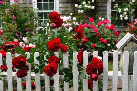 White Picket Fence Rose Garden