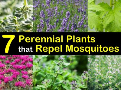 7 Perennial Plants That Repel Mosquitoes