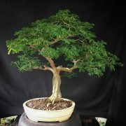 Brazilian Rain Tree Bonsai
