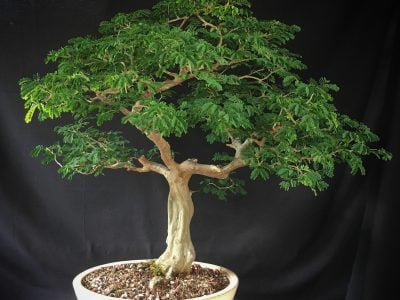 Brazilian Rain Tree Bonsai