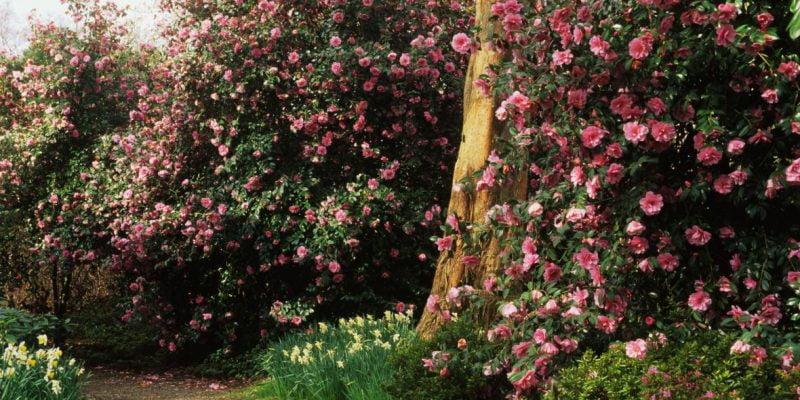 Camellia Sasanqua Trees: The Ultimate Backyard Gardener's Guide