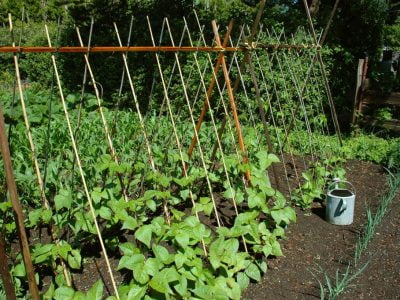 How Much Water Do Bean Plants Need to Grow? – A Beginners Guide to Growing Beans