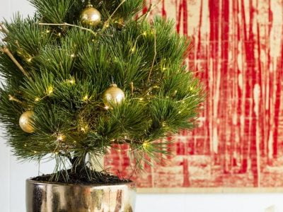 How to Take Care of a Live Christmas Tree?