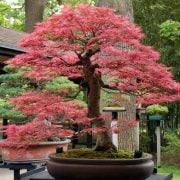 Pink Bonsai Trees