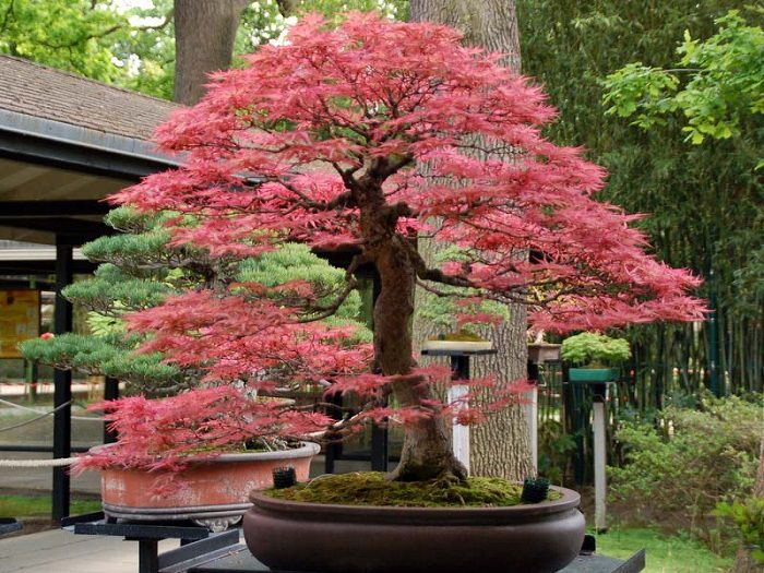11 Of The Best Pink Bonsai Trees Organize With Sandy