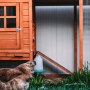 Why Does a Chicken Coop Have 2 Doors? Explained