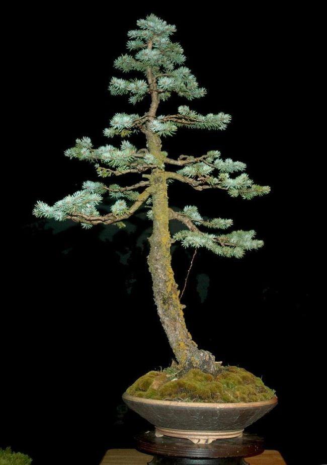 Spruce Bonsai Tree