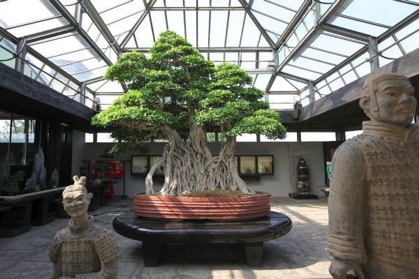 10 Pics of the Oldest Bonsai Tree
