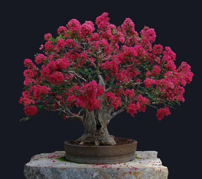 Crape Myrtle Bonsai Tree