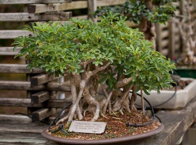 Dwarf Schefflera Bonsai Tree