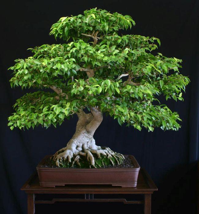 Ficus Benjamina Bonsai Tree