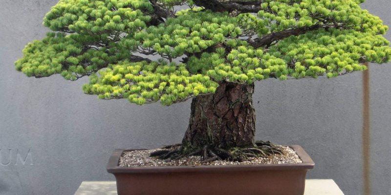 25 Flowering Bonsai Trees