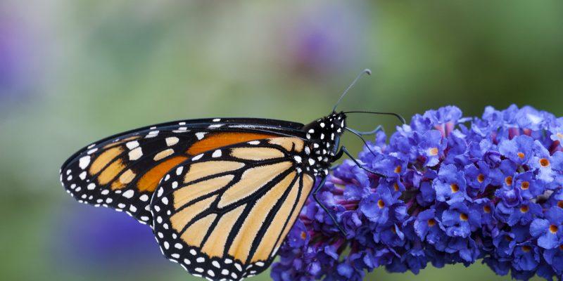 26 Best Perennial Garden Butterfly Plants