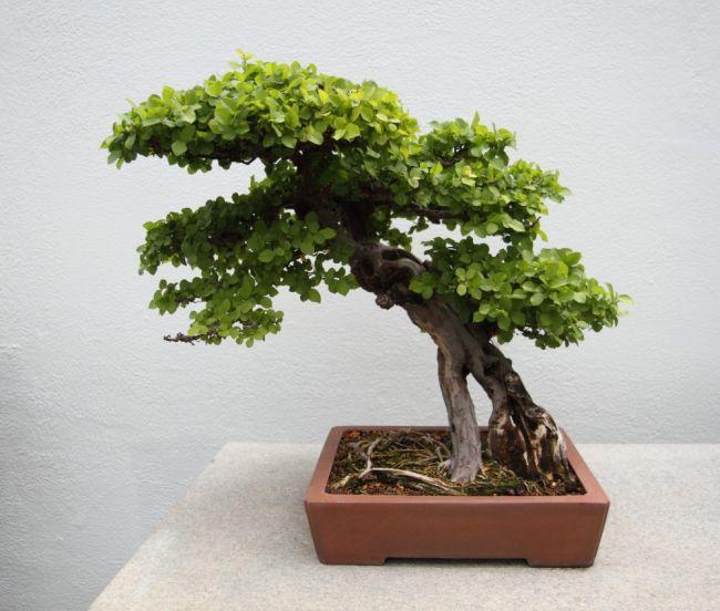 Sageretia theezans or Bird Plum Bonsai Trees