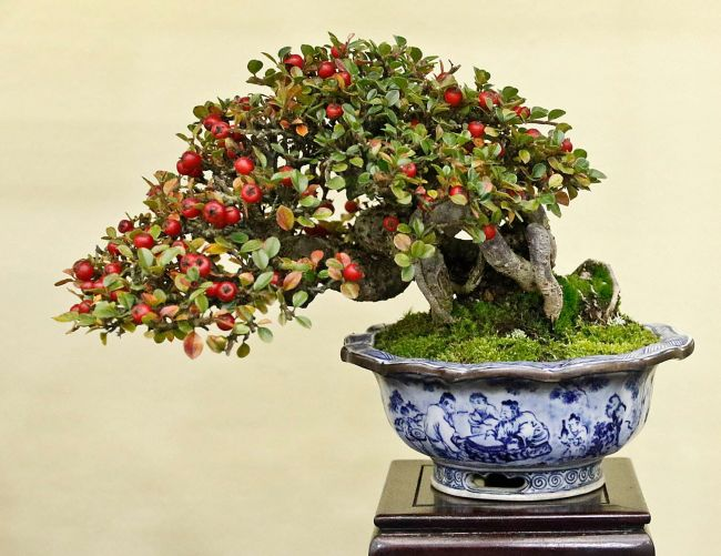 Cotoneaster Horizontalis Bonsai Tree