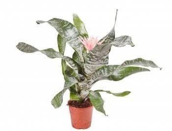 Bromeliad- Silver Vase