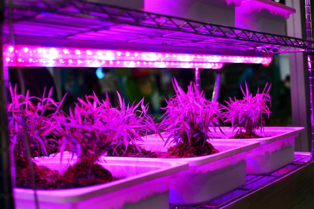 plant under LED grow light