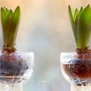 Growing Bulbs Indoors: How to get started?