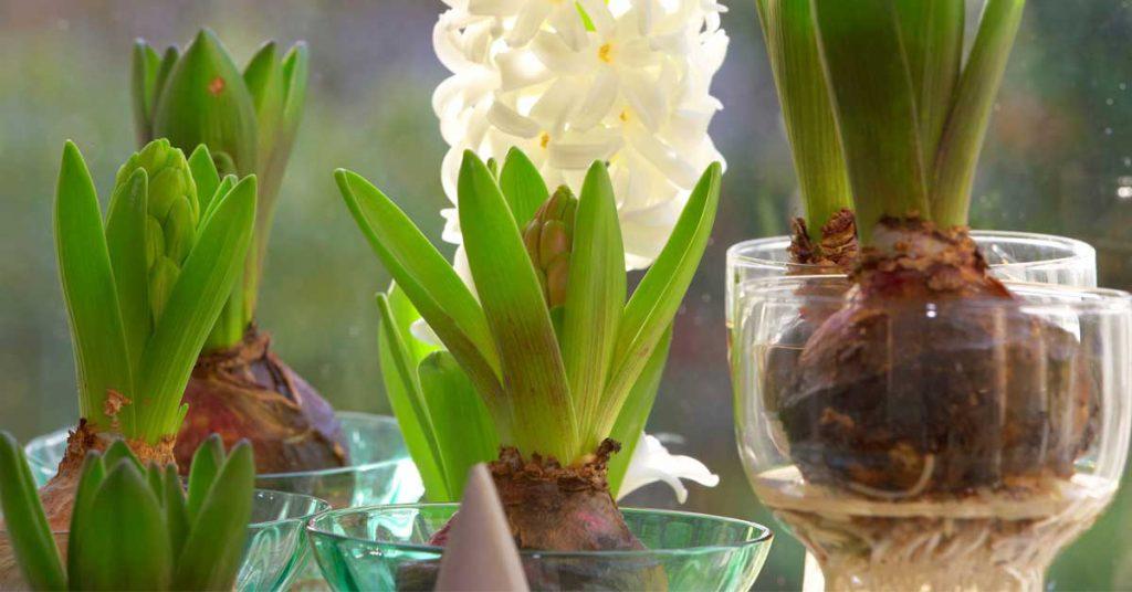How to Grow Bulbs Indoor