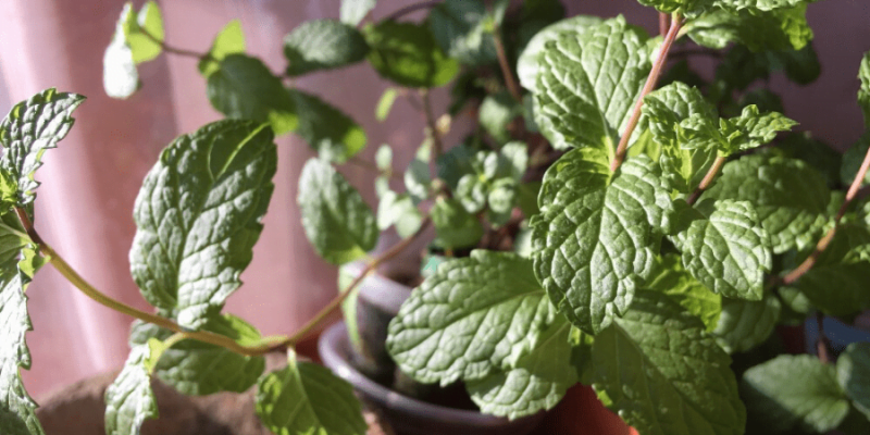 How to Grow Mint from Seeds in An Indoor Pot