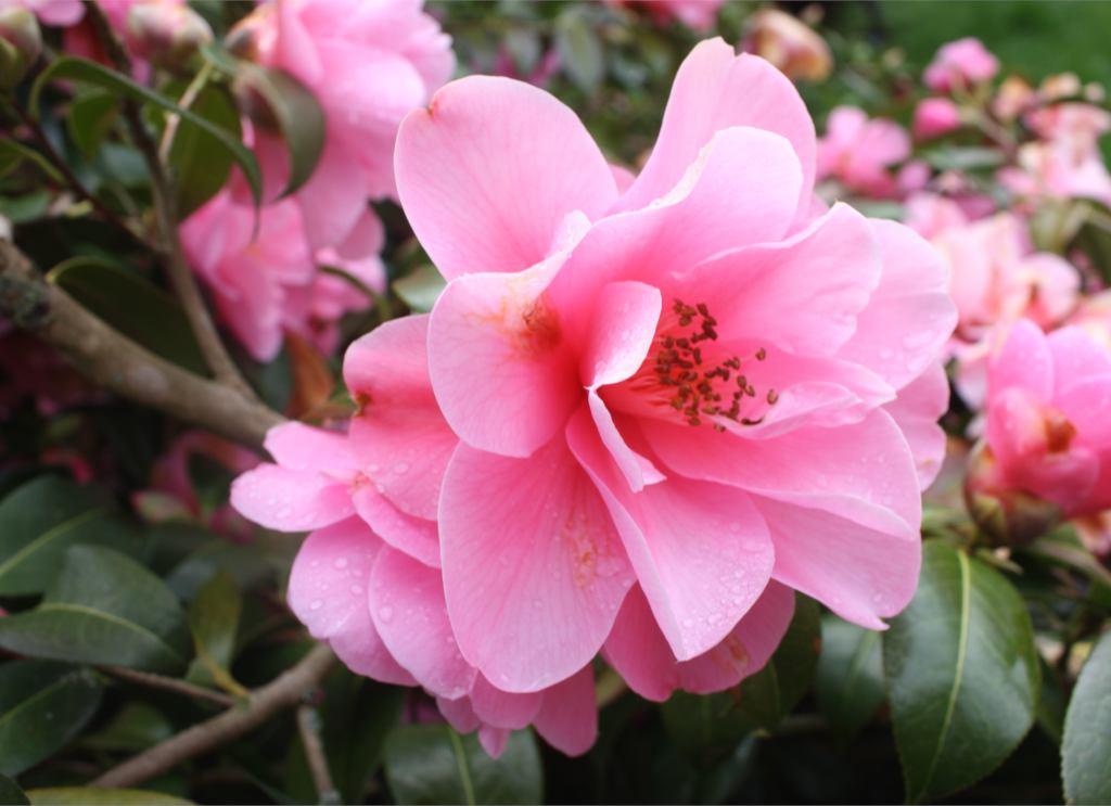 Plant your Camellia Sasanqua