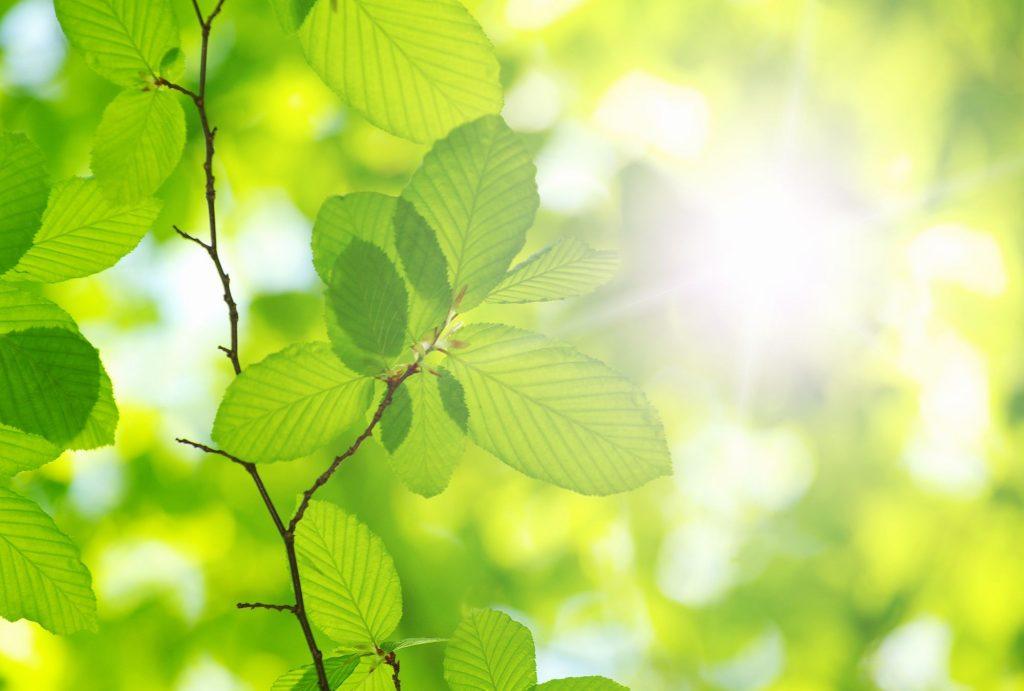Sunlight on Leaf