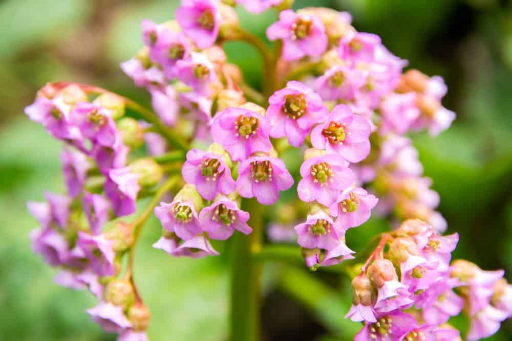 Bergenia Flowers