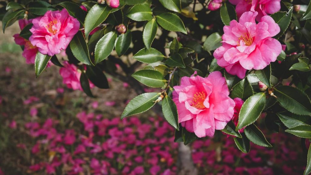 Water your Camellias