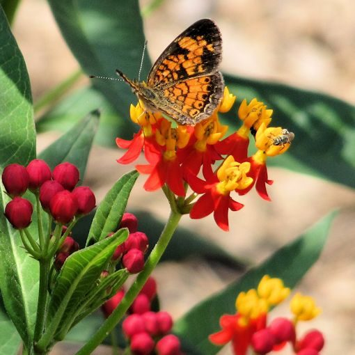 Red Butterfly Weed