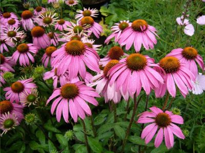 21 Attractive and Easy Sun Loving Perennials