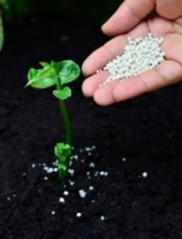 Adding Fertilizer to Rhubarb