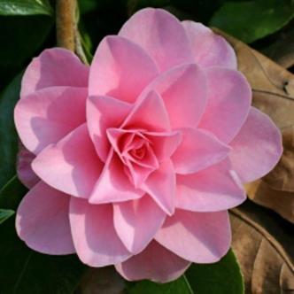 Betty Ridley Camellia