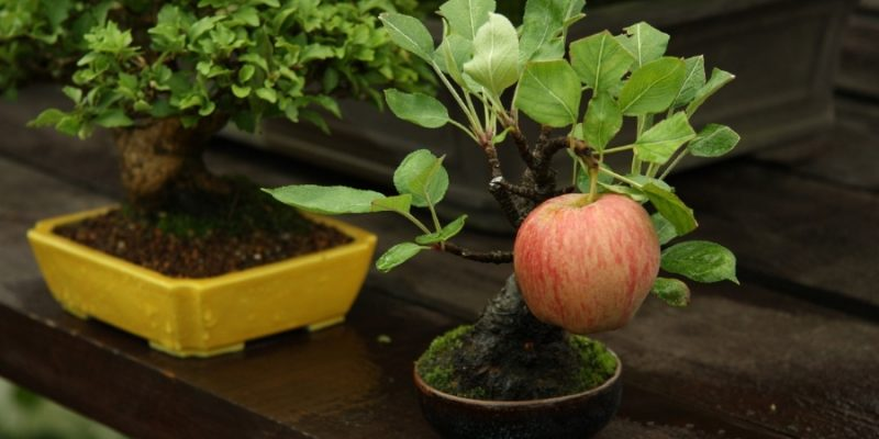 Bonsai Apple Trees: A Guide to Compact Fruit Tree Care