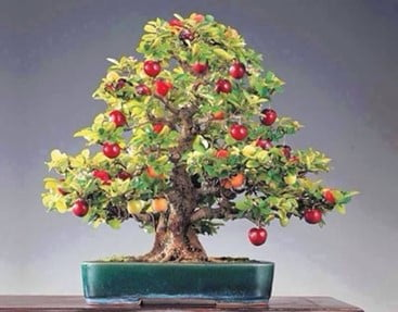 Bonsai Apple Trees