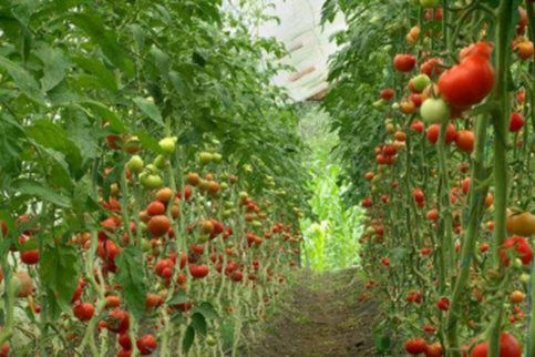 Bring Out the Tomatoes