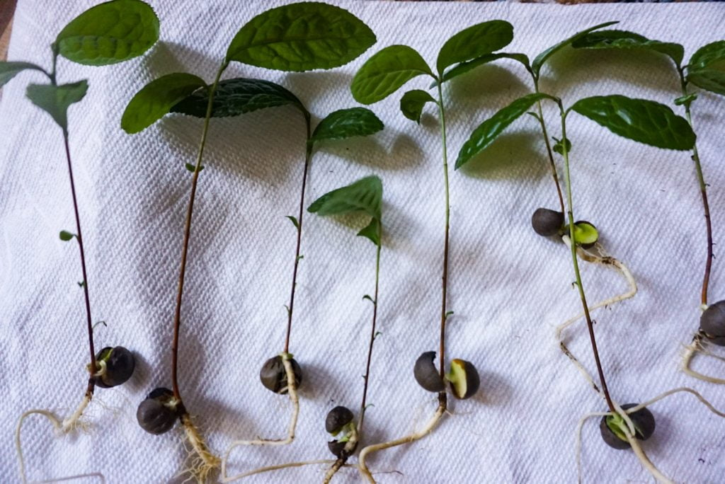 Camellia Sinensis Seeds