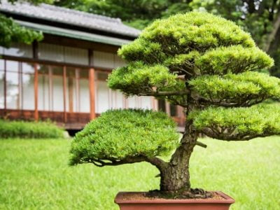 Care Guide for Juniper Bonsai Trees