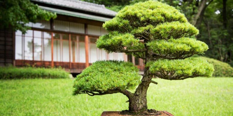 Care Guide for Juniper Bonsai Trees