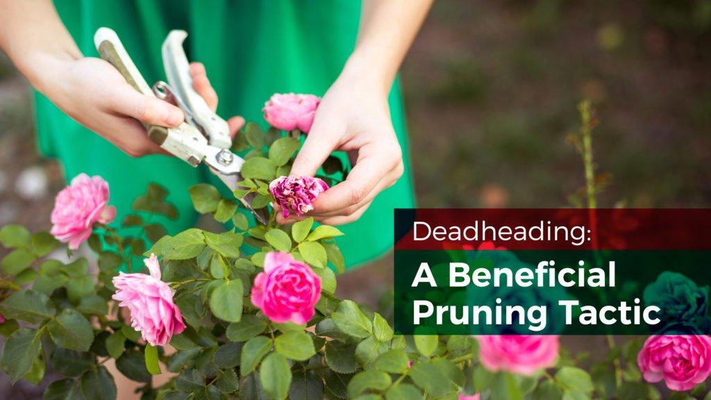Deadhead Camellias