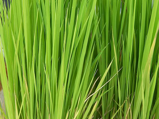 Grass or Leaves