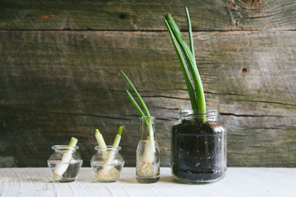 Green Onion Cuttings