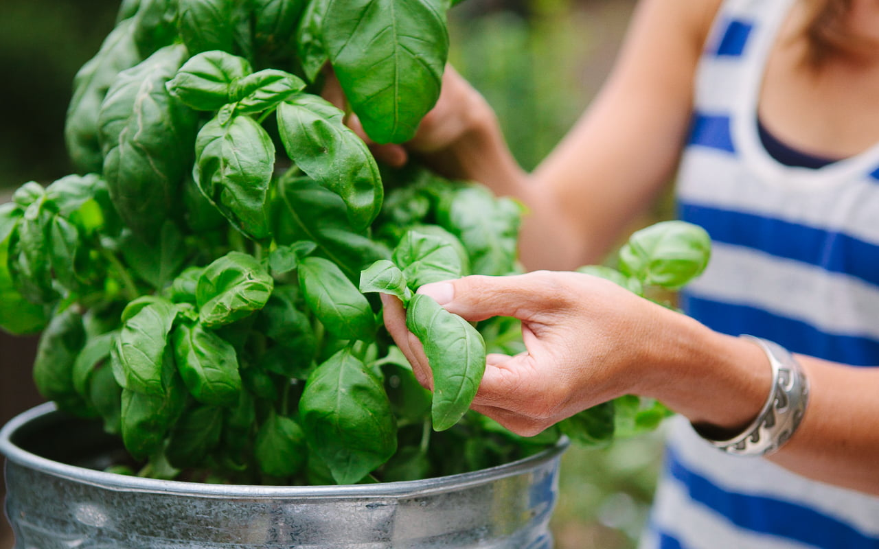 Harvest Your Basil