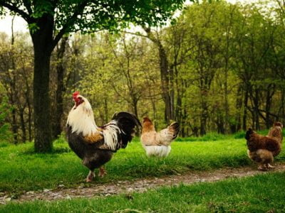 How Many Hens Per Roosters Do You Need? What is the Golden Ratio?
