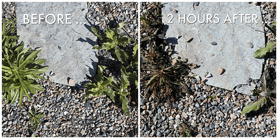 How Much Time Does Vinegar Take to Kill Weeds