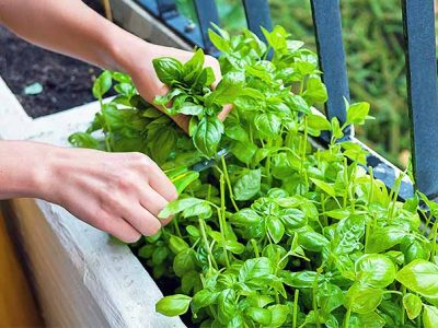 How to Grow Basil from Seed: Growing Basil Indoors and in Pots