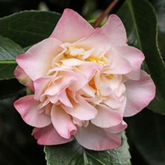 Japonica Ballet Dancer Camellia