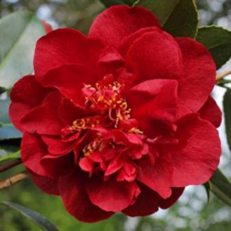 Japonica Bob Hope Camellia