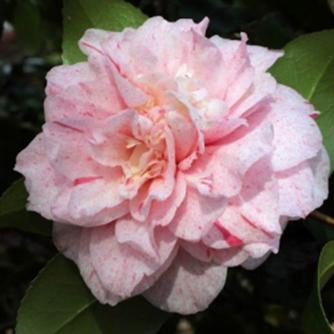 Japonica Carter's Sunburnt Camellia
