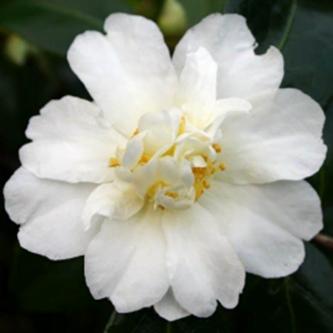 Polar Ice Camellia